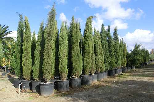 Cipr s piramidalis vivers moles el teu viver de confian a for Variedades de pinos para jardin